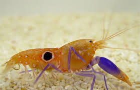 Photo of Pistol Shrimp, il gambero pistolero – VIDEO
