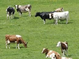 Photo of La produzione di carne bovina e l'impatto ambientale