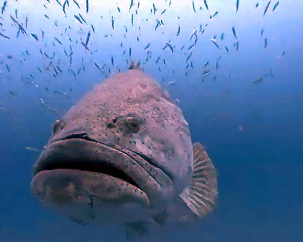 Photo of Enorme cernia Golia divora uno squalo – VIDEO