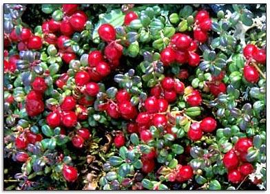 Photo of Il mirtillo rosso per prevenire le infiammazioni estive