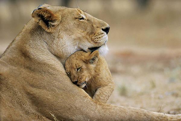 Photo of La vera natura! Cucciolo di leone veglia la madre uccisa