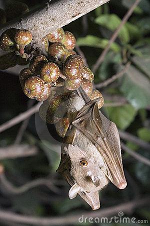 Photo of Ebola, la sua propagazione è dovuta al pipistrello della frutta paglierino