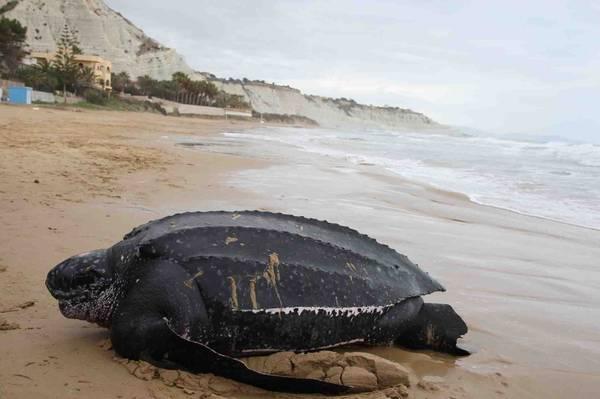 Photo of Rara tartaruga liuto di 250 kg ritrovata a Lampedusa