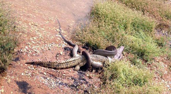 Photo of Per fare audience si fa ingoiare da un anaconda – VIDEO