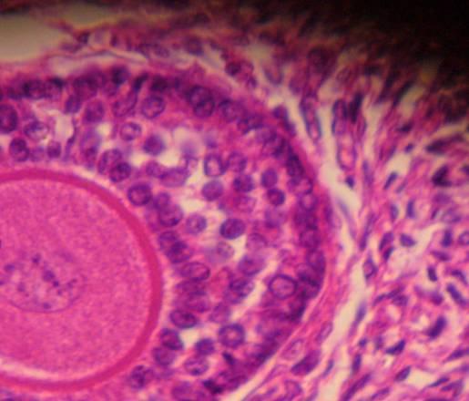 cellule-germinali-femminili