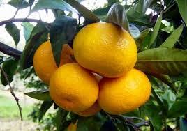 Photo of Due mandarini al giorno e….togli il raffreddore di torno