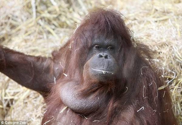 Photo of Parla e fischietta Tilda, l'orangotango dello zoo di Colonia- VIDEO