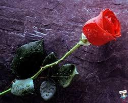 Photo of Cerco una rosa