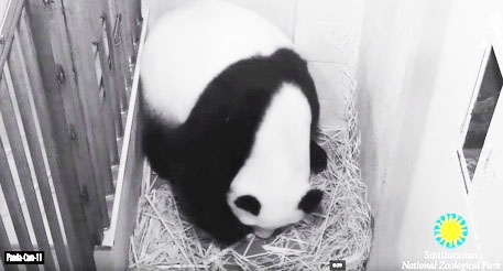 Photo of Quinto parto della panda Mei Xiang – VIDEO