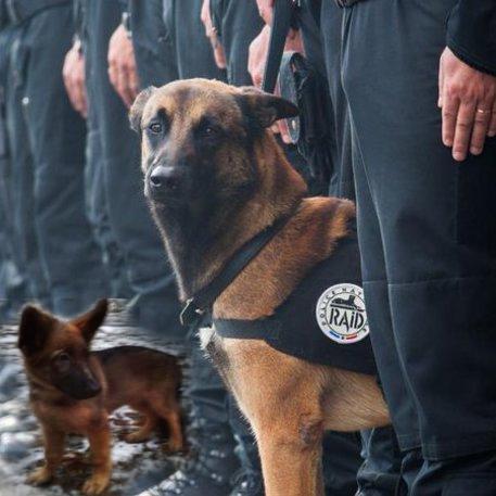 Photo of Parigi – 'Dobrinia' sostituirà in servizio il cane poliziotto eroe Diesel ucciso dai terroristi a Saint Denis