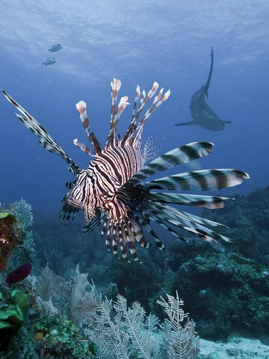 Photo of Avanza il velenoso pesce scorpione.  Il Mediterraneo è a rischio invasione