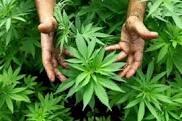 Photo of Sulla controversa legalizzazione delle droghe leggere