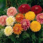 alm crisantemi colorati