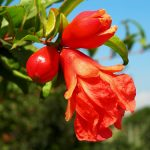 alman-fiori-di-melograno