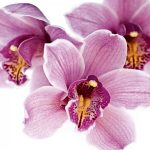 alman-orchidea