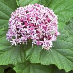 alman-clerodendrum
