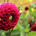 alman-crisantemo-rosso