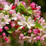 alman-fiori-melo