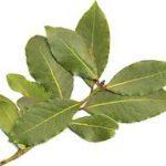 alman-foglie di alloro