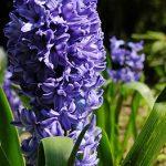 alman-giacinto-viola