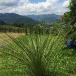 alman-Dasilirio-pianta