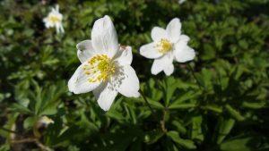 alman-anemone