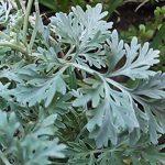 alman-assenzio-pianta