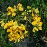 alman-cassia-pianta