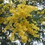 alman-mimosa-Acacia_dealbata
