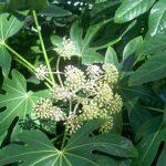 alman-aralia o fatsia-japonica