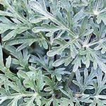 alman-artemisia-pianta-foto web