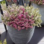 alman-erica-pianta