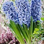 alman-giacinto-blu
