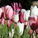 alman-Tulipano Screziato (foto web)