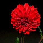 alman-dalia rossa (foto web)