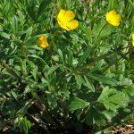 alman-ranuncolo selvatico (foto web)
