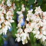 alman-Acacia-bianca (foto web)alman-Acacia-bianca (foto web)