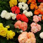 alman-Begonia (foto web)