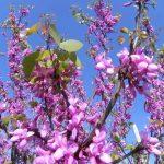 alman-albero_di_giuda (foto web)