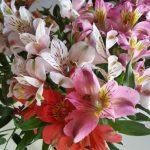alman-alstroemeria (foto web)