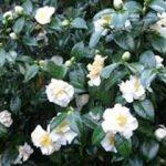 alman-camelia-bianca (foto web)