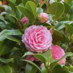 alman-camelia rosa (foto web-Pink Camellia sasanqua flower with green leaves)