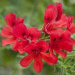 alman-geranio-rosso (foto web)