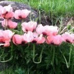 alman-papavero rosa (foto web)