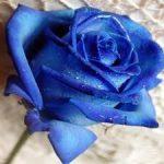 ALMAN-ROSA BLU (FOTO WEB)