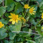 ALMAN-celidonia-minore-o-ranunculus-ficaria (foto web)