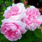 alman-Rosa Centifoglia Pomponia (foto web)