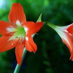 alman-amarillis (foto web)