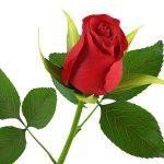 alman-rosa-rossa(foto web)