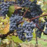 alman-vitis vinifera (foto web)